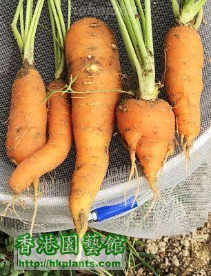 Carrot 1s_07.JPG