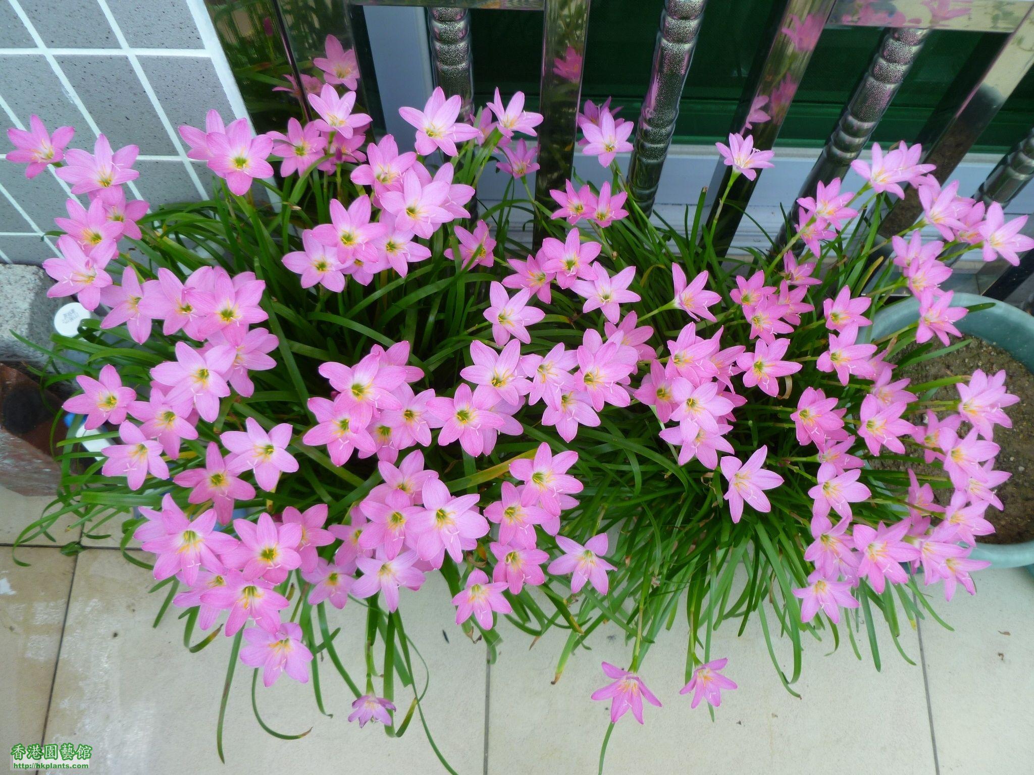 風雨蘭-粉紅-041.JPG