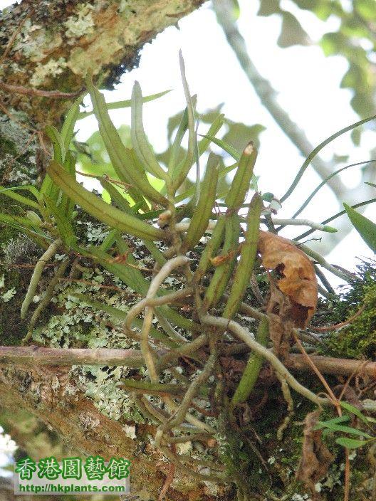 圖08-生長在低地熱帶森林氣候區的風蘭.JPG