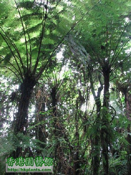 圖04-生長在低地熱帶森林氣候區的蕨樹.JPG
