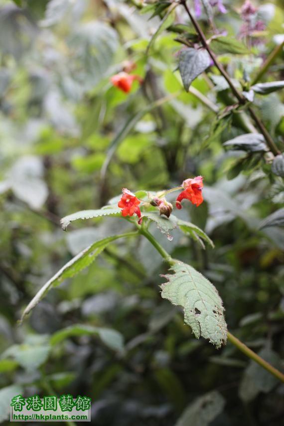 圖34-生長在寒帶氣候森林區的羅桑鳳仙.jpg