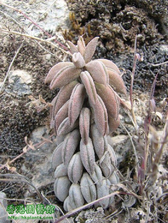 圖 36-生長在亞馬遜省部四里典山區的糙葉草胡椒.JPG