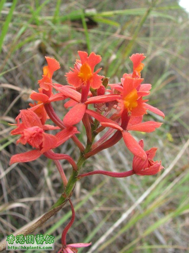 圖 33-在亞馬遜省部四里典山區盛開的樹蘭.JPG