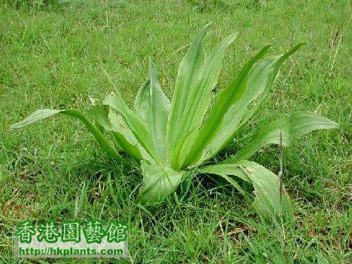 022G-錦棗兒品種2.jpg