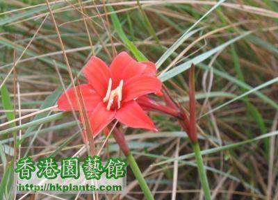 unknown amaryllid sp., possibly Rhodophiala