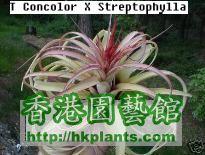 Concolor_X_Streptophylla.jpg