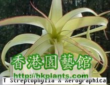 Streptophylla_x_Xerographica.jpg