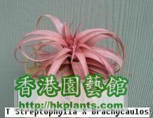 Streptophylla_X_Brachycaulos.jpg