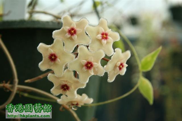 Hoya_cv_Mathilde_Flowers (Small).jpg