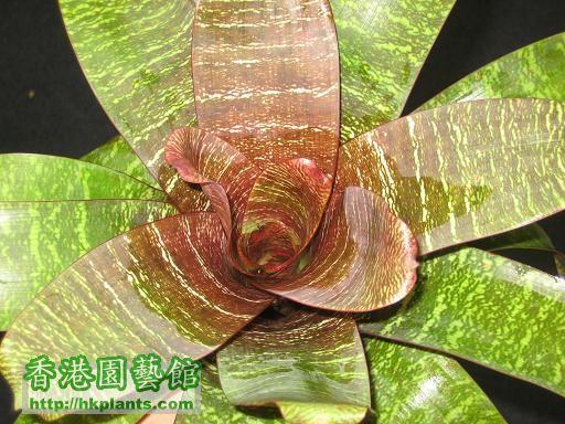 V. red chestnut 2
