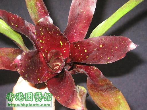 Neoregelia 'Mid-night'