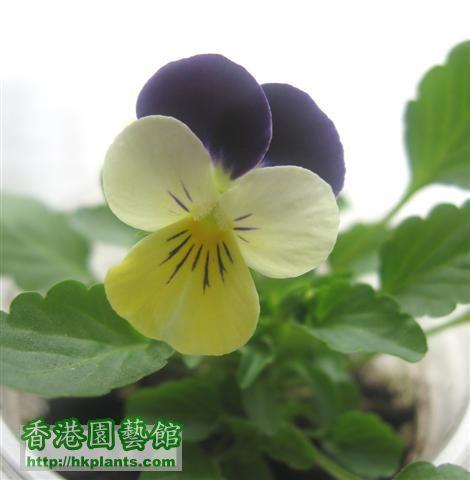 好靚的紫白黃 三色堇