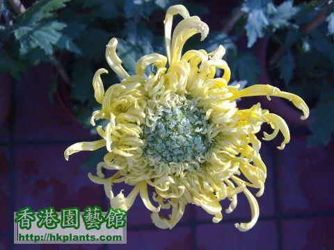 最近學種的菊花,由小苗到現在都有3個多月了!