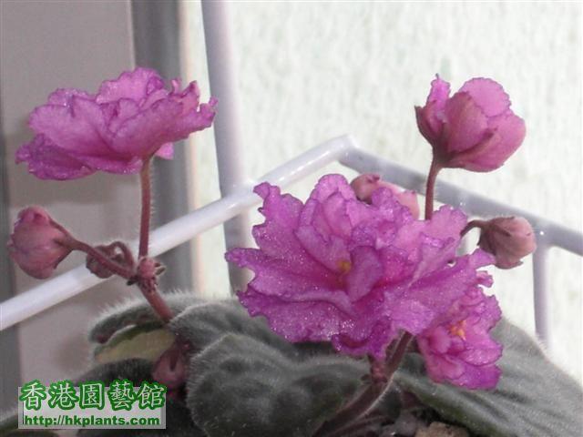 第三者次開花, 無左條紫邊.