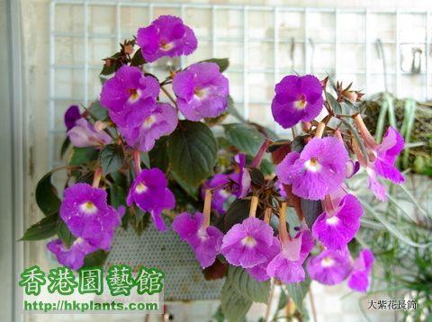 2009-8-9 大紫花長筒 (2).JPG