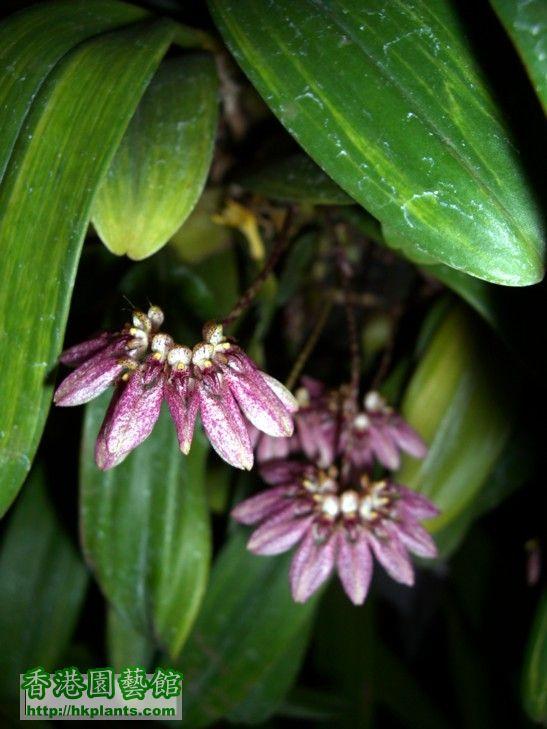 Bulb.andersonii-1.JPG