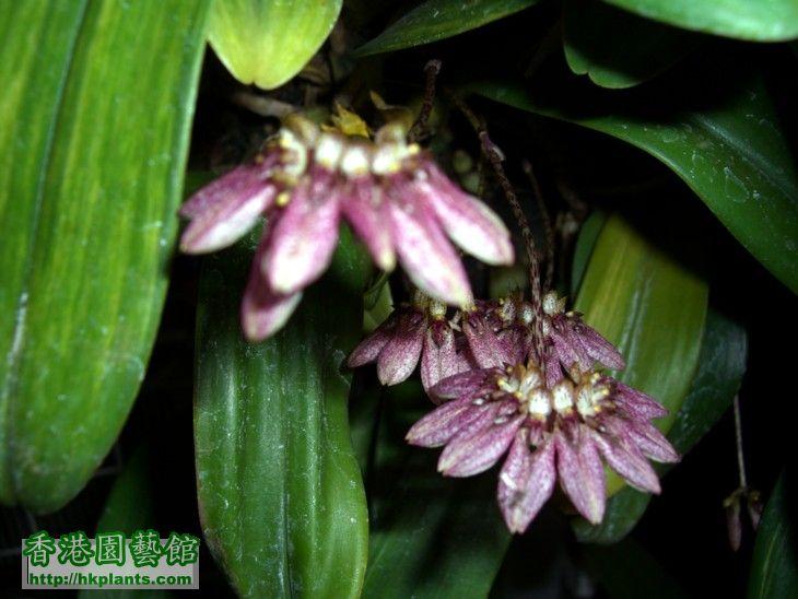Bulb.andersonii-2.JPG