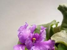 new violet .....