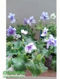 Violet 2012-齊齊開