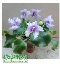 Violet2012- 5枝菖