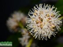 巴西鐵樹開花了......