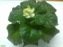 485 Spring Rose (交功課給大紫花)