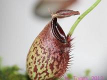 我的小豬 - Nepenthes Spectabilis x Aristolochioides