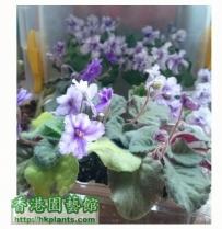 Violet 2012- 努力灌溉
