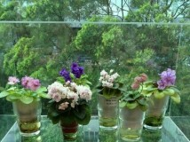 My African Violet Collection 2013.07