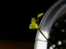 Utricularia bifida