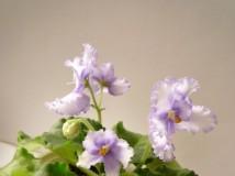violet2013 - 大女乖巧!