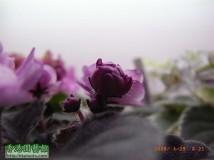 Ness Satin Rose (A66)