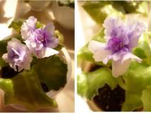 new violet -nov2012