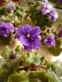 new violet2013 - 絲絨feel
