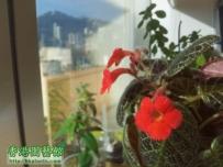 Melb 之苦苣苔植物 X 非洲紫羅蘭 專區