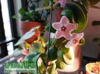 捲葉毬蘭同時開花又結果?