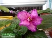 162 Aloha Orchid