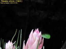 [ 空氣鳳梨 ]Tillandsia stricta -- 多國花