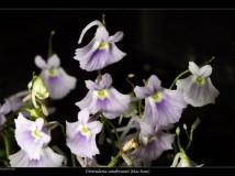 Utricularia sandersonii 'blue form'