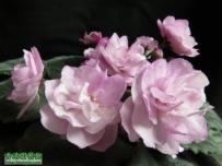 Ness Satin Rose
