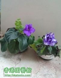 Violet 2012 -  迷你…