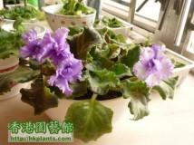 new violet .......