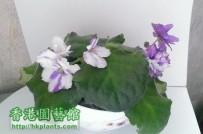 new violet 2013 - 14天後