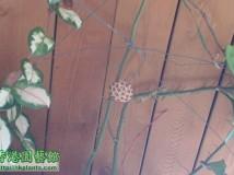我家有2款球兰开花结果啊。。。。惊奇啊