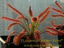 Drosera capensis special