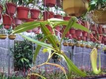 豬籠草'Maxima' x 'Sibuyanensis'